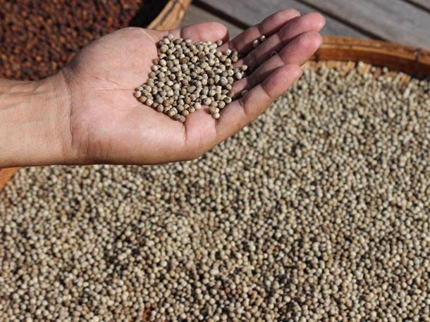 Indonesian new crop pepper exports face delays | Spice Factors